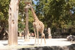 giraffe-1845079_960_720