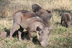 warthogs-950383_960_720