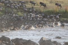 wildebeest-migration-2322110_960_720