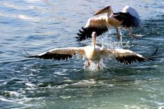 pelicans-1972563_960_720