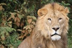 lion-174870_960_720