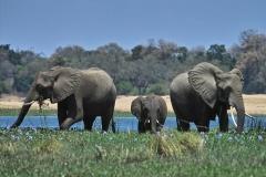 elephants-zambia