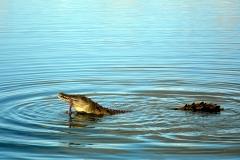 crocodile-2409957_960_720